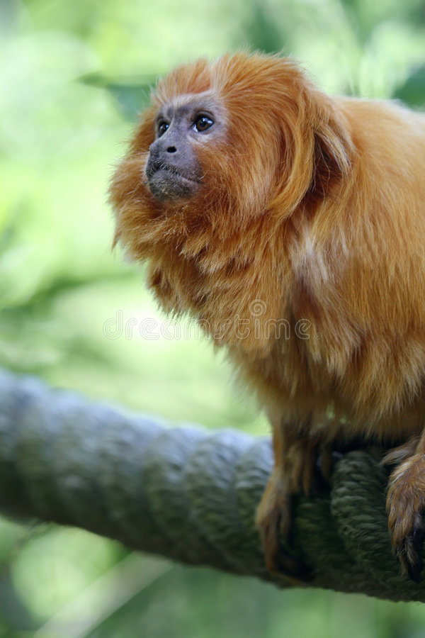 Golden Monkey. Close up of a golden monkey stock images