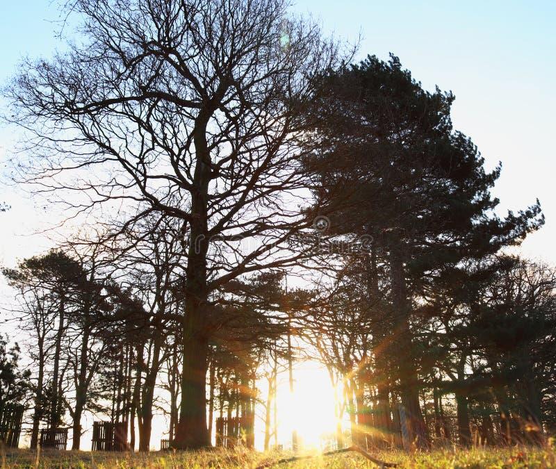 Trees basking in the morning light. Golden morning sun light shining throw the trees in bushy park royalty free stock photos