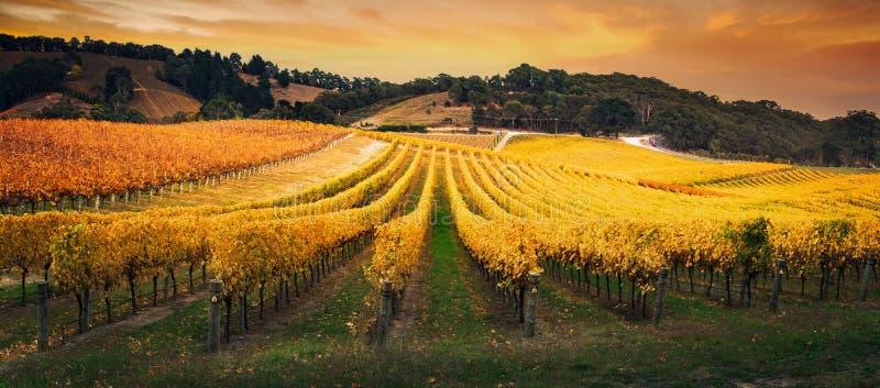 Golden Morning Vineyard royalty free stock photos