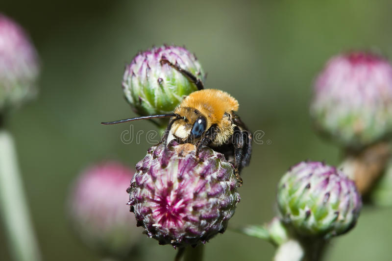 Download Golden Northern Bumblebee (Bombus Sp.) Stock Image - Image: 10475533