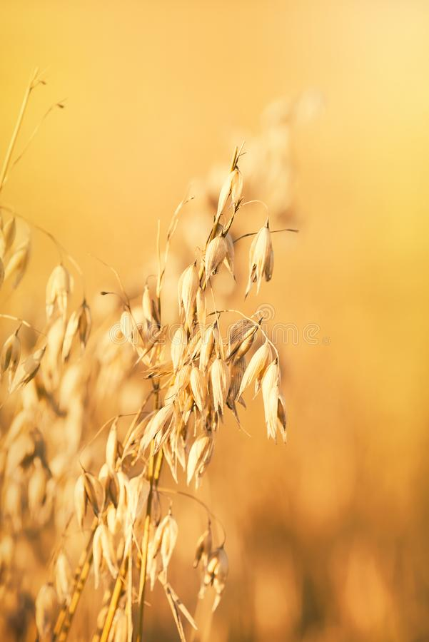 Golden oat field at sunset royalty free stock images