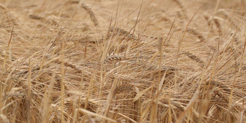 Golden Ohren des Roggens im Feld stockfoto