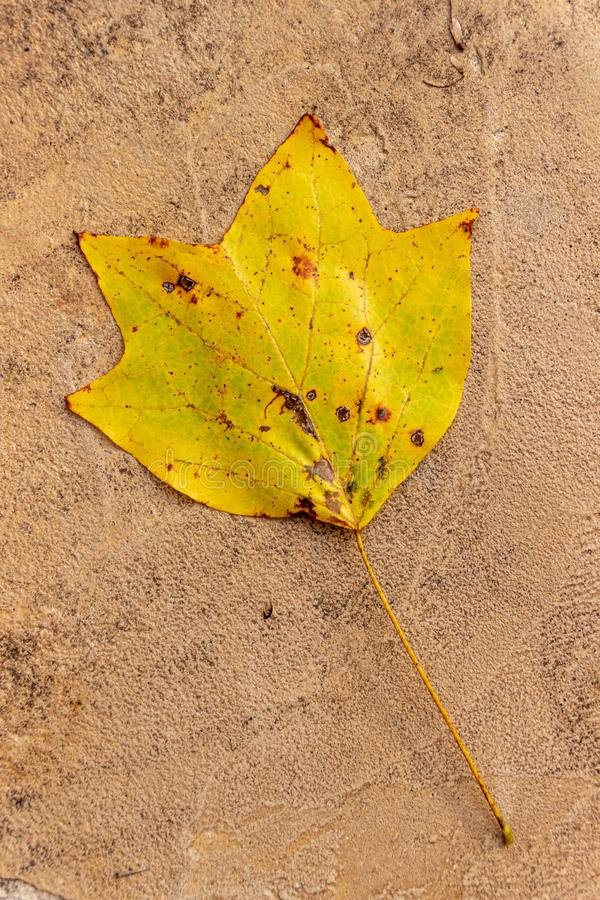 A golden and orange leaf from a tulip poplar tree lies on a textured surface during autumn. royalty free stock images