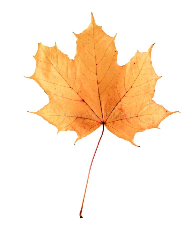 Golden orange and red maple leaf isolated white background. Beautiful autumn maple leaf isolated on white. stock photo