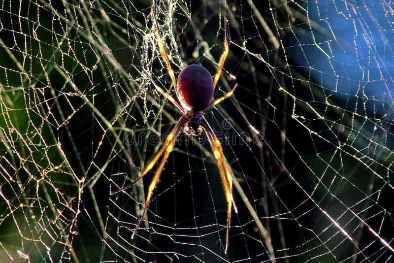 Download Golden orb spider stock photo. Image of dawn, arachnid, golden - 35524