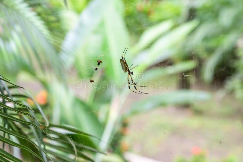 Golden Orb Spider i sitt nät i den berömda nationalparken Tortuguero Costa Rica royaltyfri foto