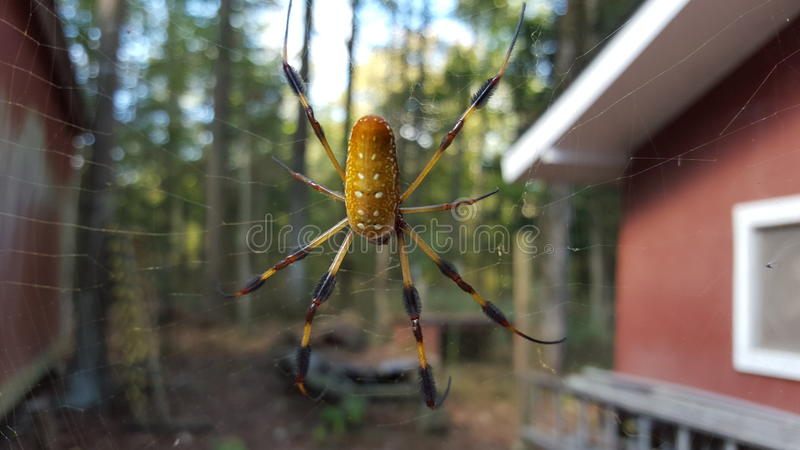 Download Golden Orb Spider In Its Web Stock Image - Image: 62458897