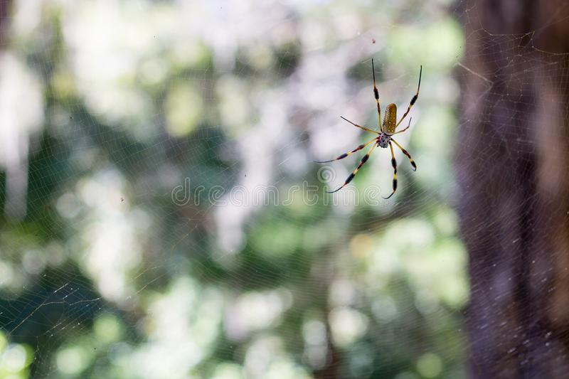 Golden orb Spider in web royalty free stock photo
