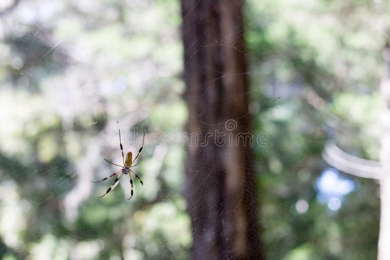 Golden Orb Spider in the woods stock photography