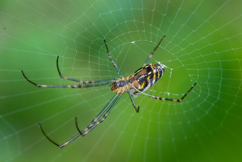 Golden Orb Weaver Spider. A Golden Orb Weaver Spider stock photography