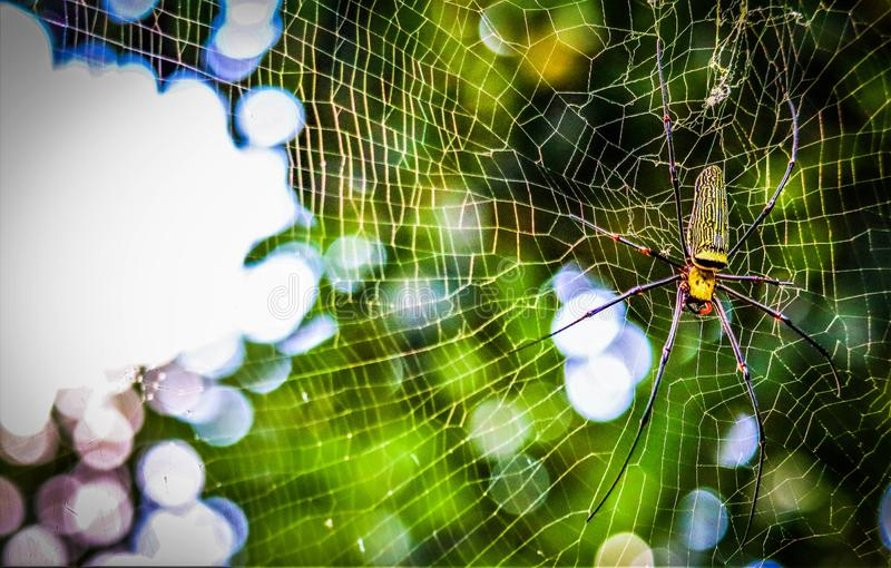 Golden Orb-weaver Spider. In the forest royalty free stock image