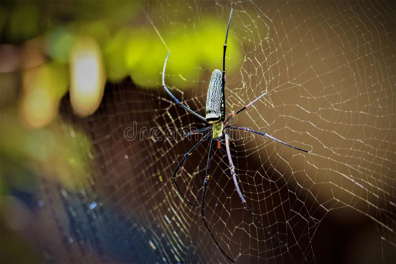 Golden Orb-weaver Spider. In the forest royalty free stock photo