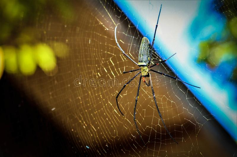 Golden Orb-weaver Spider. In the forest stock images