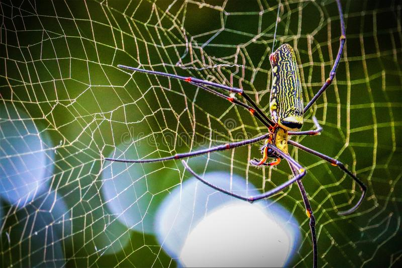 Golden Orb-weaver Spider. In the forest royalty free stock images