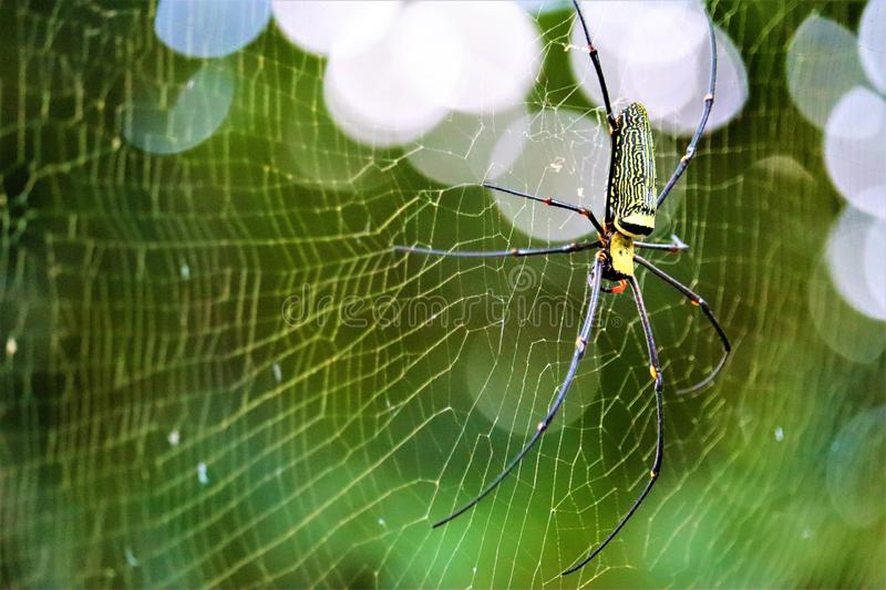 Golden Orb-weaver Spider. In the forest royalty free stock photos