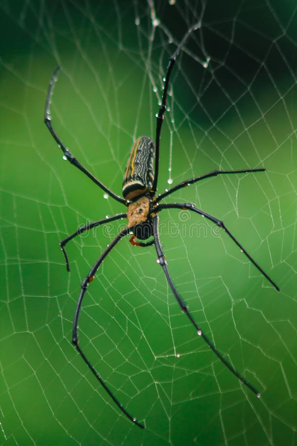 Golden Orb-weaver Spider Knit large fibers along the vertical line between the trees. Female is 40-50 mm in size royalty free stock photos