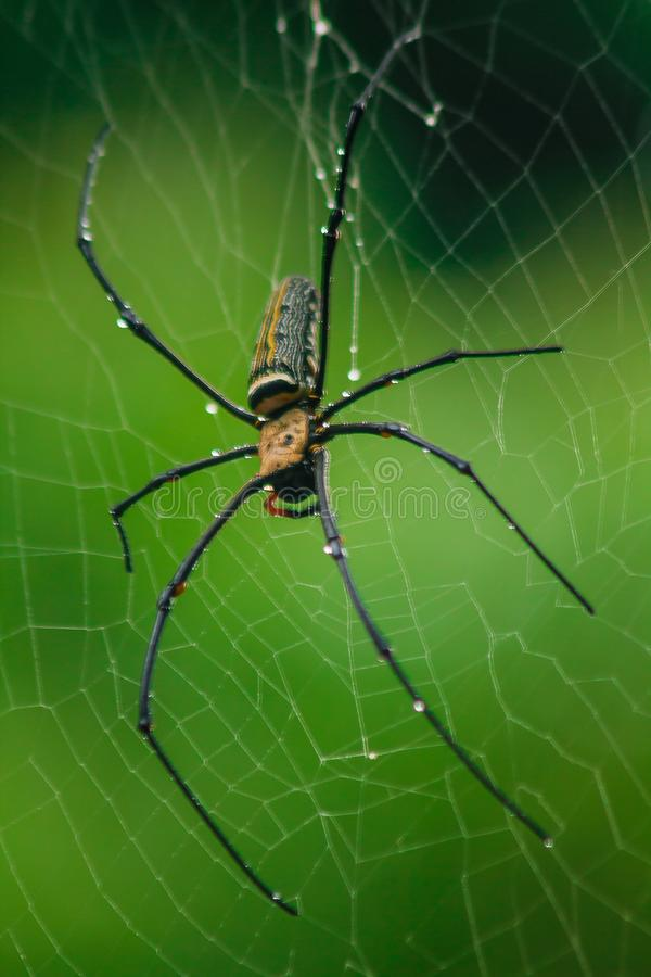 Golden Orb-weaver Spider Knit large fibers along the vertical line between the trees. Female is 40-50 mm in size stock photography