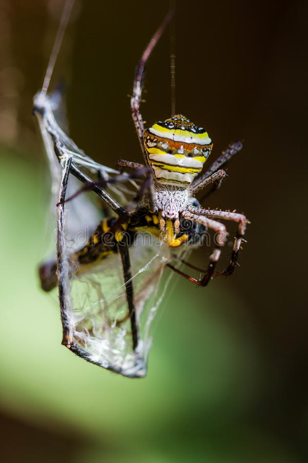 Golden Orb-weaver Spider. On wave stock photos
