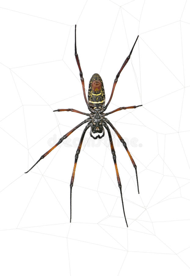 Download Golden Orb-web Spider Against White Background Stock Image - Image: 10939119