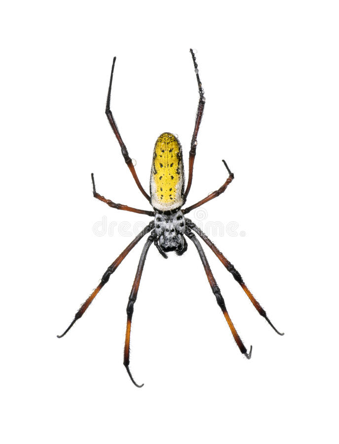 Golden orb-web spider against white background royalty free stock image