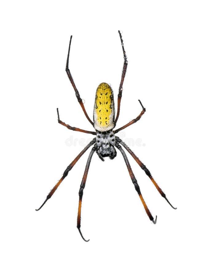 Golden orb-web spider against white background
