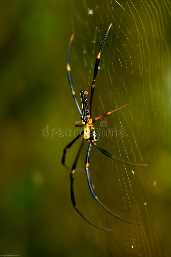 Golden Orb Web Weaver Spider. In a tree stock image