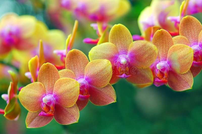 Golden Orchids royalty free stock images