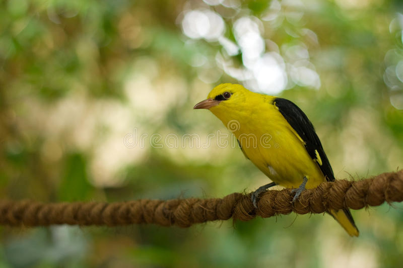 Golden oriole. Sitting on a rope stock photos