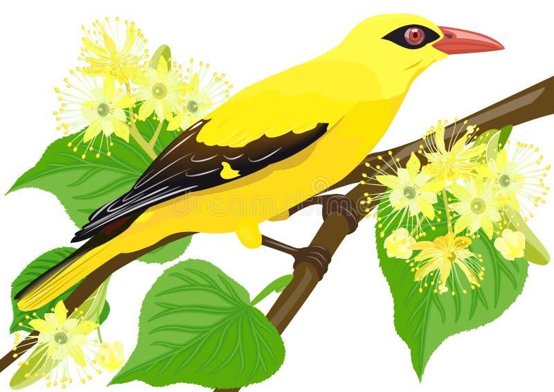 Golden Oriole bird stock illustration