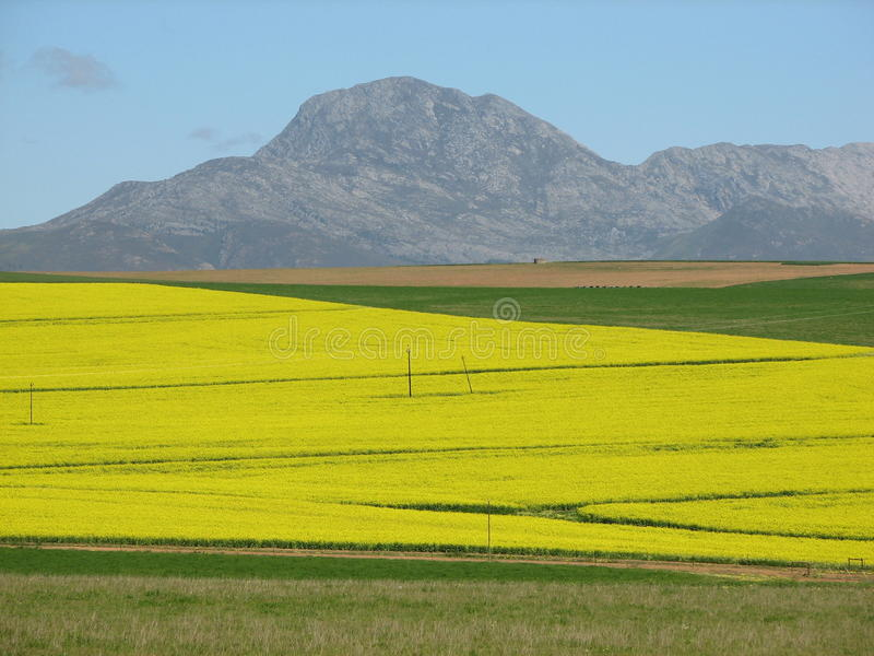 Golden overberg canola fields. Along the overberg region near the most southern tip of Africa you can find this golden fields of canola in the spring season royalty free stock photos