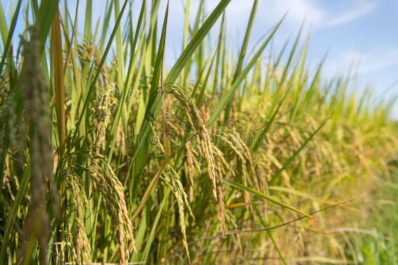 Golden paddy. Bunches of golden paddy in the field royalty free stock photo