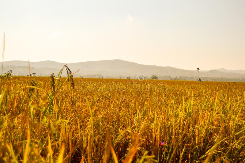 Golden paddy farmland stock images