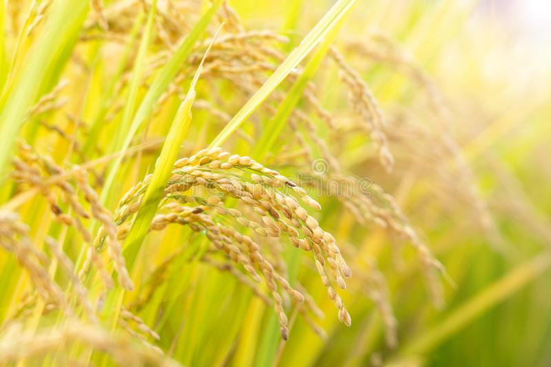 Golden paddy field. Close up golden paddy field stock photo
