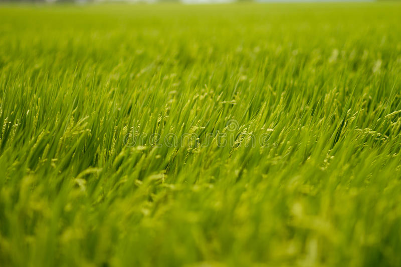 Golden paddy field. And wind blows stock photo