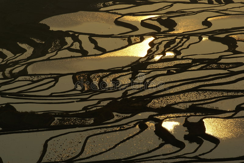 The Golden Paddy Field. The morning Shot of a hill paddy field with the golden light reflection of the sunrise. Taken in Yunan, China royalty free stock photography