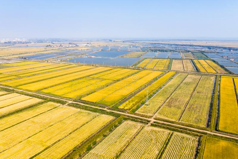 Golden paddy field in autumn. Aerial view of golden paddy field in autumn stock images
