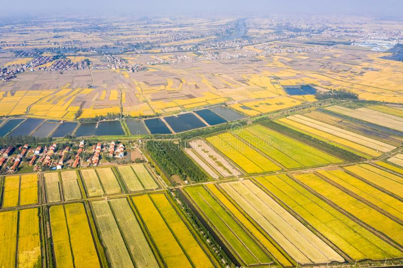 Golden paddy field in autumn. Aerial view of paddy field in autumn royalty free stock photos