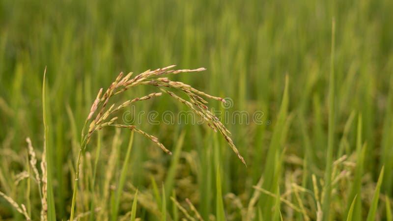 Golden paddy at paddy field. Close up shot of golden paddy rice at paddy field stock image