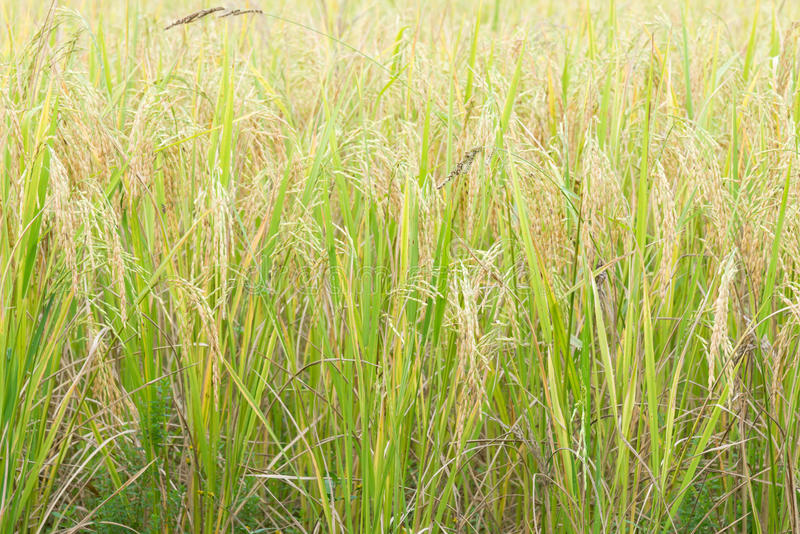 Golden paddy field. Golden paddy field for ready to the harvest time in the organic farming,the product of Thailand royalty free stock photos