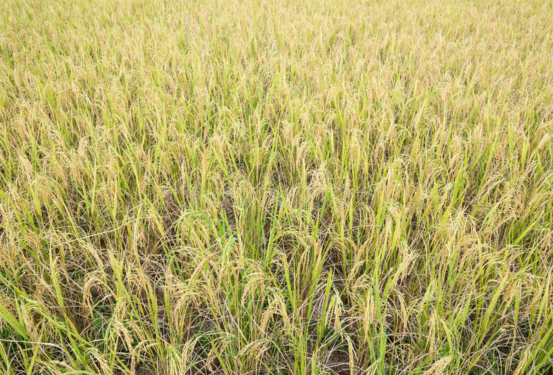 Golden paddy field. For harvest season in the countryside of Thailand stock photos