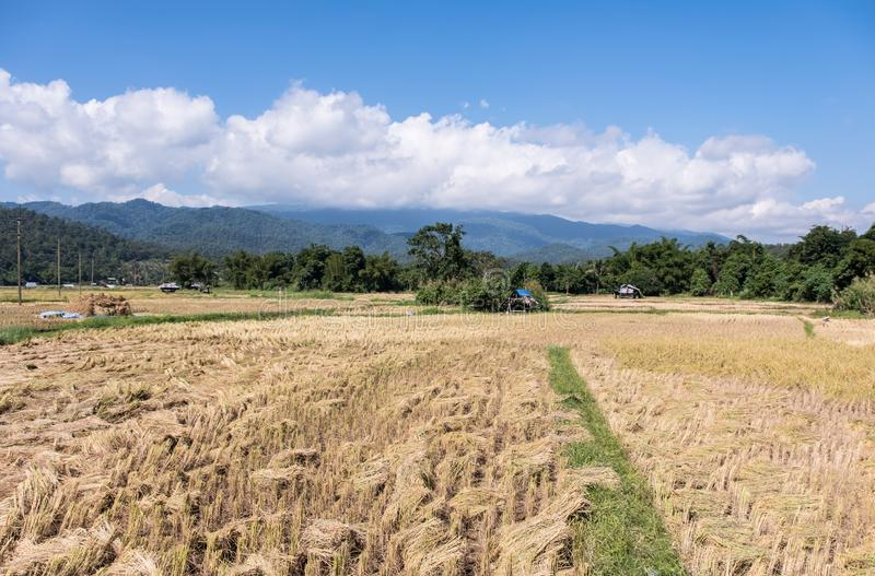 Golden paddy field in the harvest time. Located in the valley of the high mountain,northern of Thailand royalty free stock images
