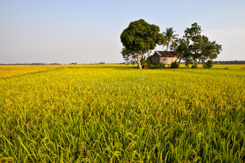 Golden Paddy field. The golden paddy field is ready for harvest royalty free stock photos