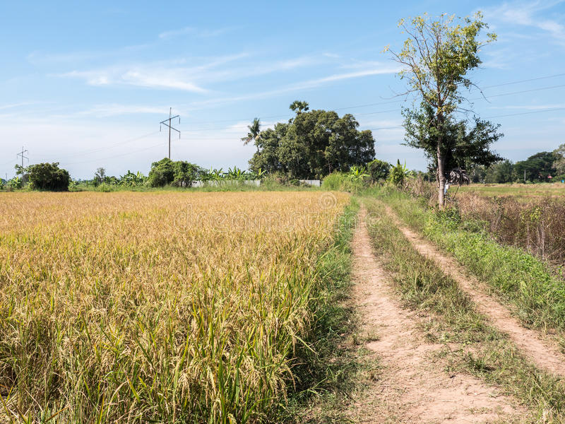 Golden paddy field for ready to harvest. Golden paddy field for ready to harvest in the countryside near the electrical pole, Northern of Thailand royalty free stock photos