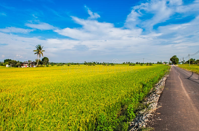 Golden Paddy field, road and a house.  royalty free stock photos