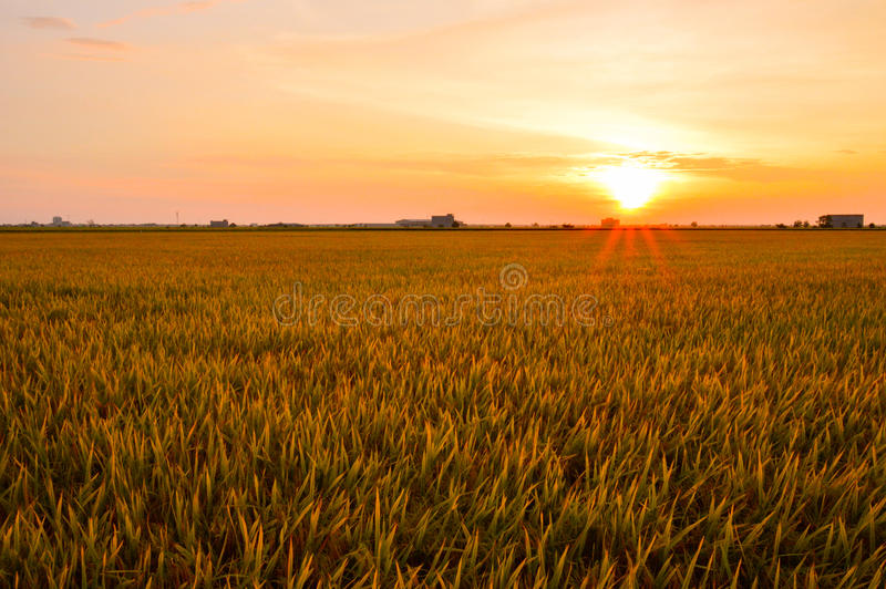 Golden paddy field sekinchang. Sekinchan is a small town located in Sabak Bernam, Selangor, Malaysia. It is located along the coastal Federal Route 5. Apart stock photography