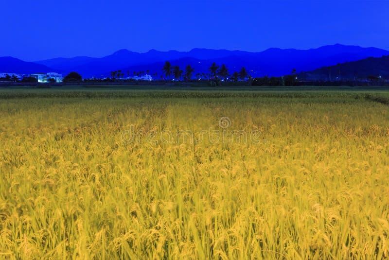 Golden paddy field in Taitung, Taiwan. Golden paddy field at morning in Taitung, Taiwan stock photography