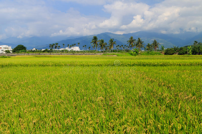 Golden paddy field in Taitung, Taiwan. Golden paddy field at morning in Taitung, Taiwan royalty free stock images