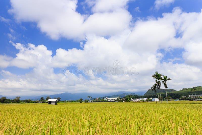 Golden paddy field in Taitung, Taiwan. Golden paddy field at morning in Taitung, Taiwan royalty free stock photos
