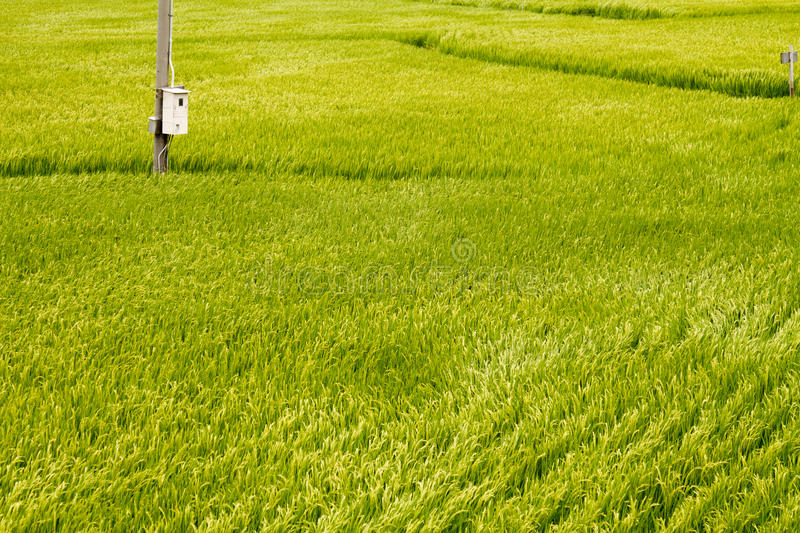 Golden paddy field from top view. And a wire pol royalty free stock photo