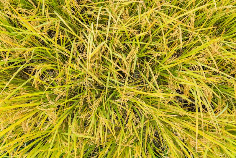 Golden paddy field. Top view golden paddy field royalty free stock photography